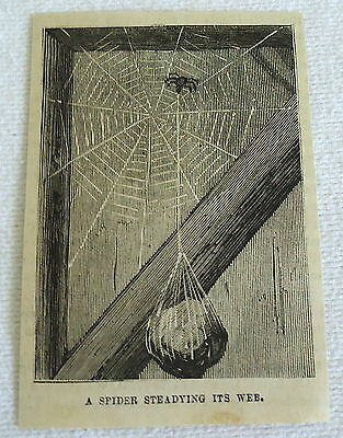 small 1882 magazine engraving ~ SPIDER STEADYING ITS WEB