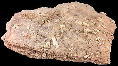 """Oklahoma Rock Crammed with Embedded Crinoid Stem Fossils 7.5 x 5.5"""""""