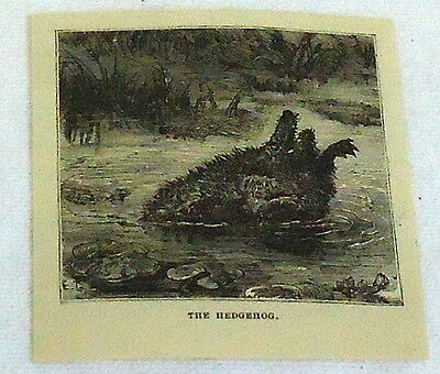 small 1878 magazine engraving ~ THE HEDGEHOG