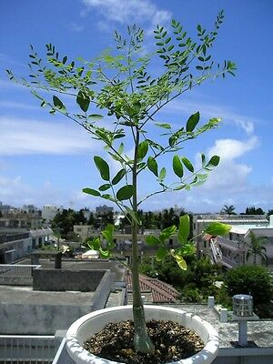 Moringa hildebrandtii - Bottle Tree - 5 Large Seeds