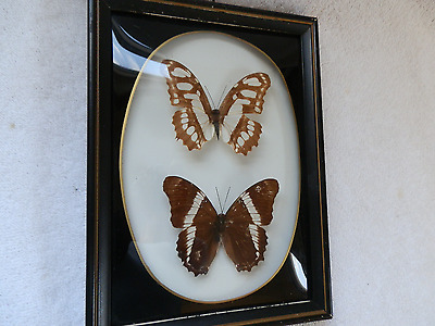 Real 2 Butterfly Butterflies Framed Picture