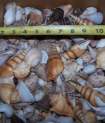 "1 HALF POUND LARGE INDIAN OCEAN SEA SHELL MIX 1"" to 3"" CRAFT ITEM # LGSM-.5"