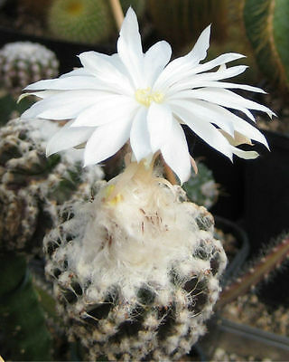 Discocactus mixture - Fabulous Scented Flowering Cactus - 25  Seeds