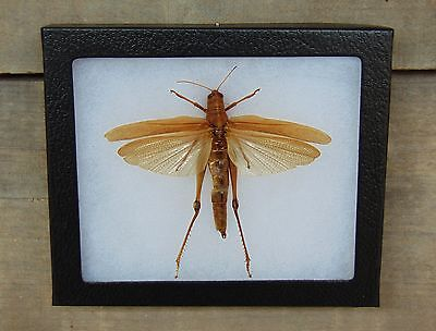 E545) Real Spread Grasshopper 5X6 framed display butterfly insect bug taxidermy