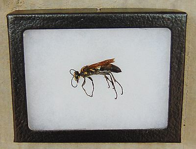 E109) Real DIGGER WASP 3X4 framed display insect bug butterfly Hymenoptera USA