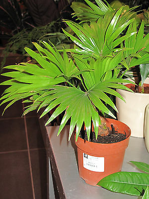 Saribus rotundifolius - Footstool Palm - 10 Seeds