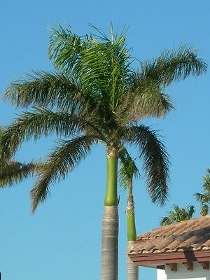 Roystonea elata - Florida Royal Palm - 10 Seeds