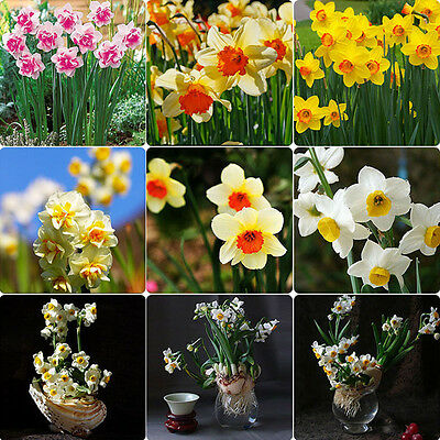 Mixed Narcissus Duo Bulbs Scented Pastel 400 Double Daffodil Spring Plant Flower