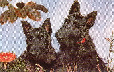 VINTAGE postcard of SCOTTISH TERRIER SCOTTIE DOGS