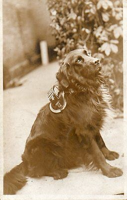 VINTAGE postcard of LOVELY COLLIE DOG wearing a harness