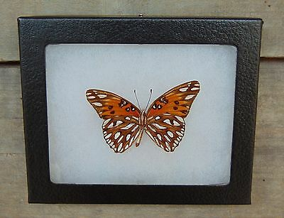 E352) Real GULF FRITILLARY VeRsO 4X5 Agraulis vanillae Framed butterfly insect