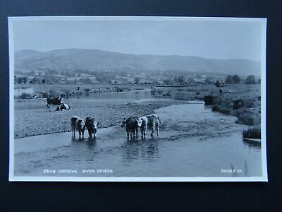 Wales CAERSWS Cattle in the River Severn c1960 RP Postcard by Judges 28138