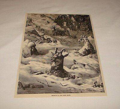 1886 magazine engraving ~ CHAMOIS IN THE DEEP SNOW