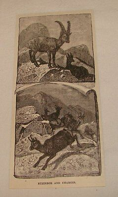 1893 magazine engraving ~ STEINBOK AND CHAMOIS