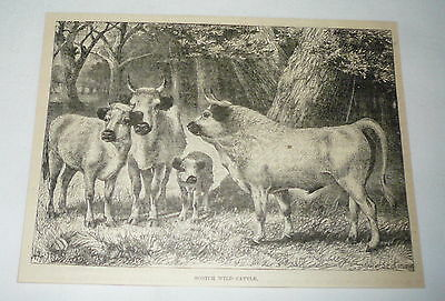 1885 magazine engraving ~ SCOTCH WILD CATTLE