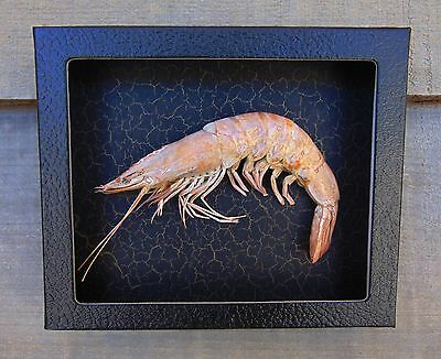 P1) Real Taxidermy SHRIMP PRAWN 5 X 6 framed shadowbox shellfish crab in USA