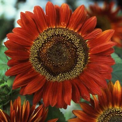Giant Red Sunflower - Evening Sun - 130 High Quality Flower Seeds  / Buzzy 80801