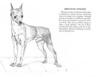 Miniature Pinscher - Vintage Dog Print - 1958 G. Cook
