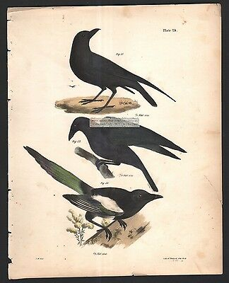 Raven - Common Crow - Magpie 1845 DeKay H/C Bird  Print