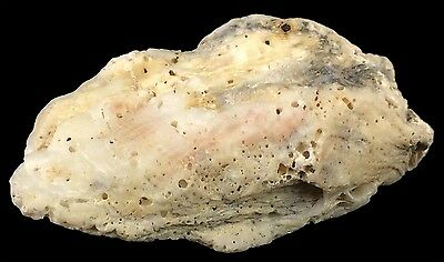 Beautiful Interesting Lumpy Oyster Shell Lots of Texture 2.5 x 1.5 Inches