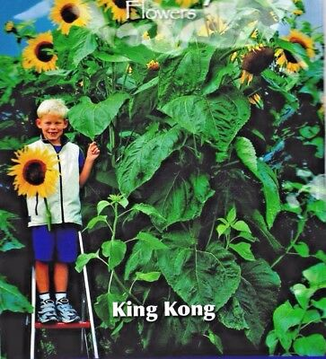 Giant Sunflower - Extra Tall - King Kong - 30 Quality Flower Seeds  /buzzy 80805