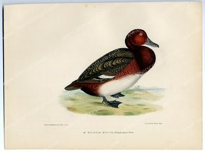Ornithology Bird Blanchère Scaup Nyroca Duck Large lithography
