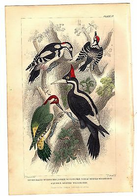 1866 IVORY BILLED WOODPECKER Green GREAT SPOTTED Lesser WOODPECKERS Goldsmith