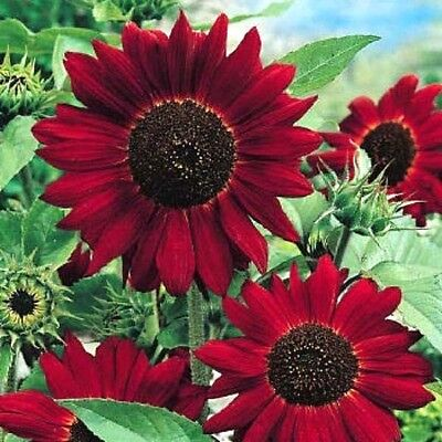 Red Giant Sunflower - Red Sun - Helianthus Annuus - 80 High Quality Flower Seeds