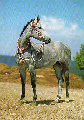 postcard of DAPPLE GREY ARAB HORSE