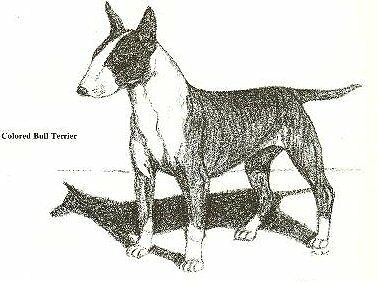 Colored Bull Terrier - 1962 Vintage Dog Print - G. Cook