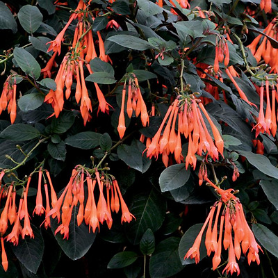 Fuchsia 'Thalia' (Sent in 9cm pot)