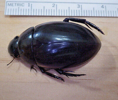 Giant Water Scavenger Beetle Hydrophilus triangularis Hydrophilidae SE TX D12