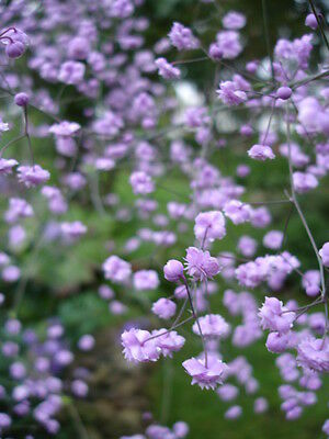 Thalictrum delavayi Chinese meadow rue (Sent in 9cm pot)