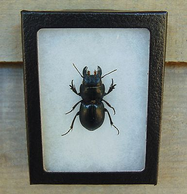 E111) Large, Real GROUND BEETLE Pasimachus 3X4 framed display insect bug USA