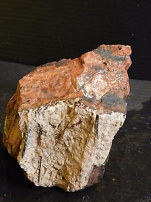 Petrified Wood 3.47 lbs 1 Piece Arizona Rainbow P10