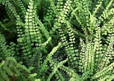 Asplenium trichomanes Maidenhair spleenwort fern (Sent in 9cm Pot)