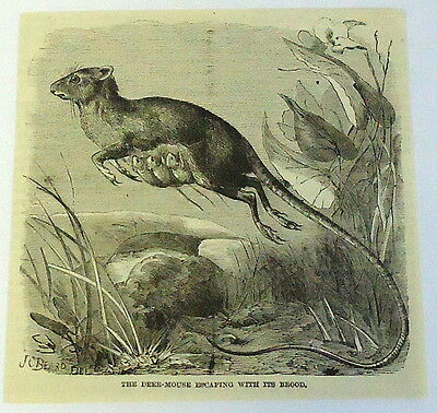 1883 magazine engraving~ DEER MOUSE with young