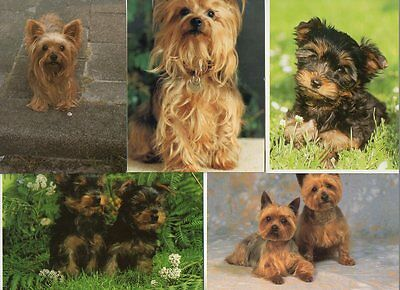 5 postcards of YORKSHIRE TERRIER DOGS