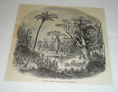 1878 magazine engraving ~ A CATINGA FOREST IN BRAZIL