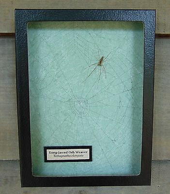 E726) Real Long-jawed Orb Weaver Spider on actual Web framed shadowbox taxidermy