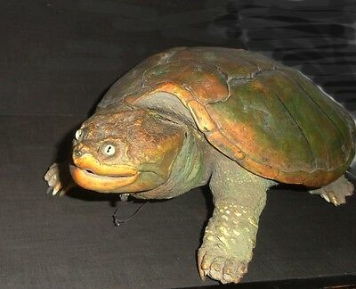 Full Body Turtle Tortoise Snapping Alligator skin Taxidermy /A beauty