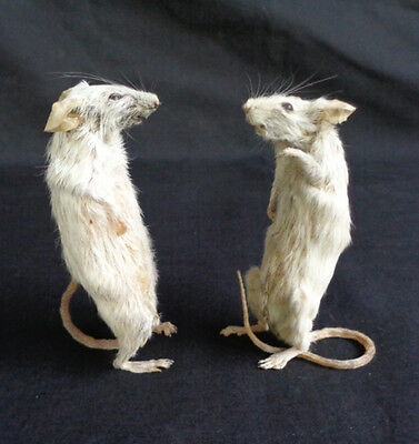 Taxidermy: Mus Musculus Freeze Dried 2 Pcs