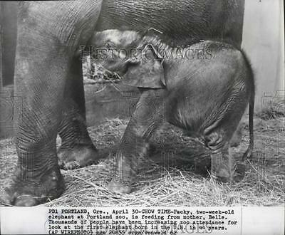 1962 Press Photo Packy two-week-old elephant at Portland zoo feeding from mother