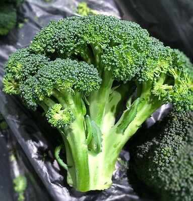BROCCOLI 150+ seeds green sprouting Italian heirloom vegetable garden winter