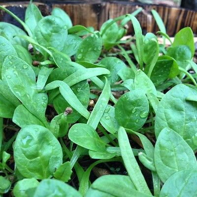 BABY SPINACH 80 seeds baby salad leaves EASY TO GROW winter vegetable garden