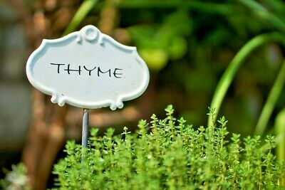 THYME 200+ seeds culinary herb easy to grow low care HERB GARDEN hardy perennial