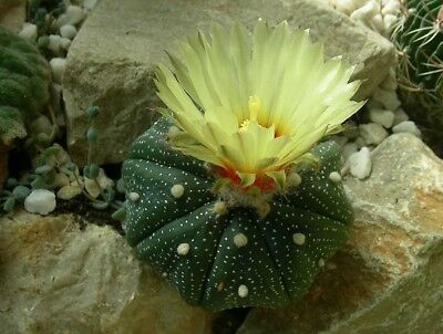 Astrophytum asterias - The Sand Dollar Cactus - 25 Seeds