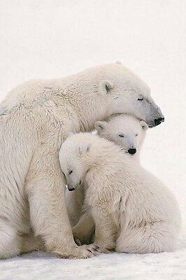 POLAR BEAR AND CUBS ~ 24x36 ANIMAL POSTER Animals Bears Arctic NEW/ROLLED!