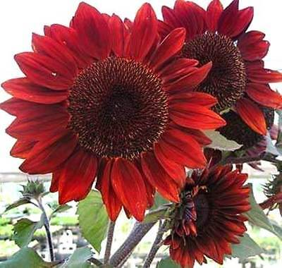 Red Giant Sunflower - Crimson Queen - 240 Organic Flower Seeds -Large Pack