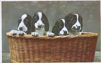 Vintage Postcard PC 4 Springer Spaniel Puppies in Basket Belgium 1951